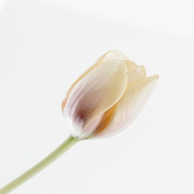 13 - Muted Tulip JS