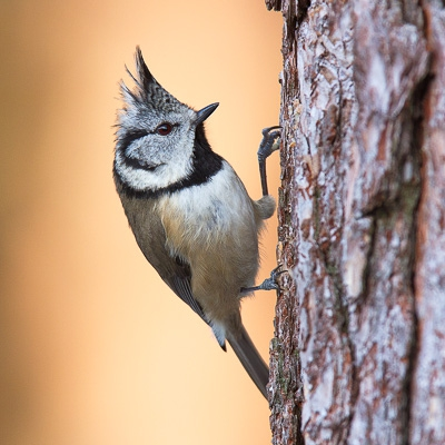 27 - Crested Tit