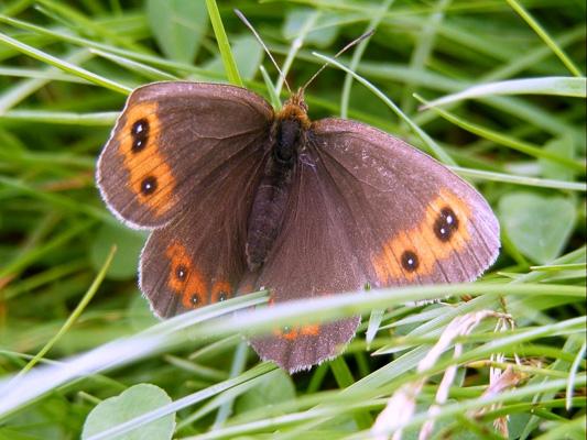 49 - Flutterby Butterfly.jpeg