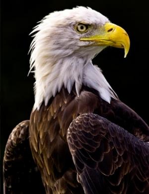 05 - Bald Eagle