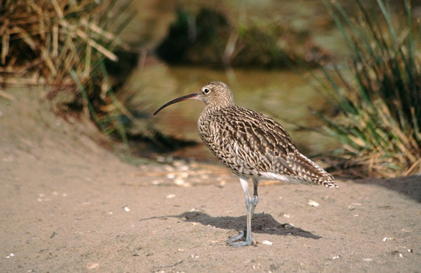 SoY 2007 Curlew (Gerry McGleave)