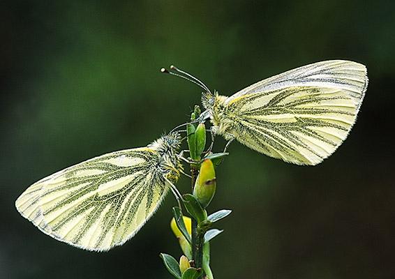 SoY 2009 Green-veined White Pair (David Jones)