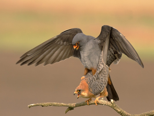 SoY 2012 Red-footed Falcon Pair (David Jones)