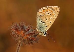 SoY 2010 Common Blue (David Jones)