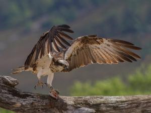 SoY 2015 Osprey with Fish (David Jones)