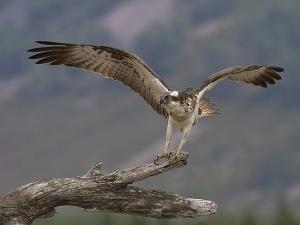 SoY 2014 Osprey Landing (David_Jones)