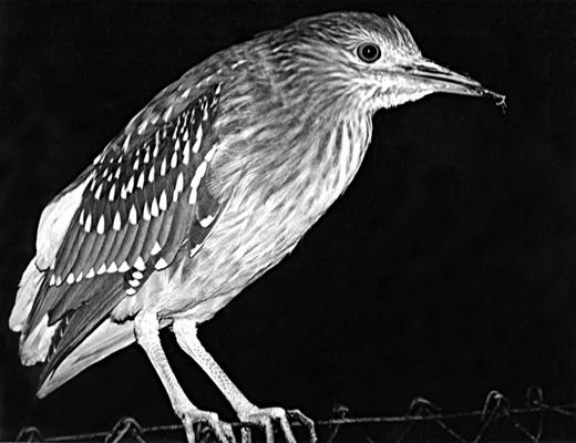 MPoY 1996 Night Heron (Juvenile) (Mick Cameron)