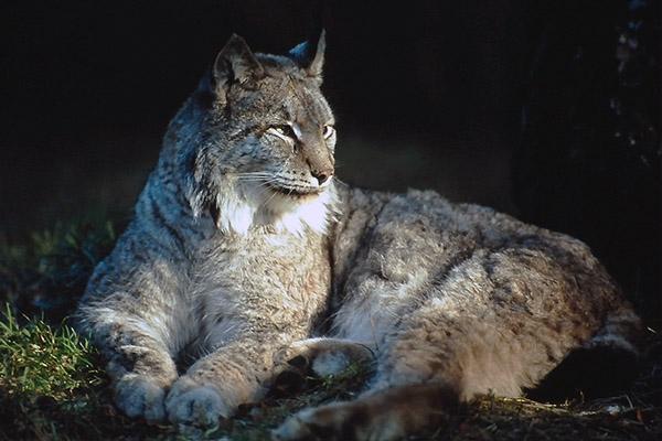 CPoY 1994 Lynx (Alex Clark)