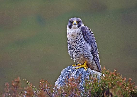 CPoY 2004 Peregrine Falcon (David Jones)