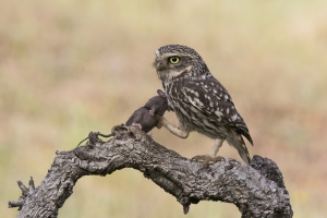 3 Commended Little Owl With Mouse - By David Jones
