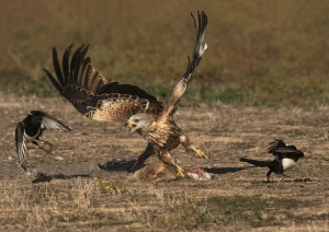 1 Winner Red Kite Attack by David Jones
