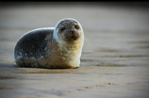2 Highly Commended Young Seal by Martin Ross
