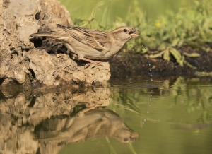 2 Highly Commended House Sparrow Female by David Jones