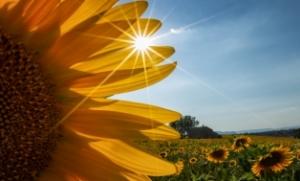 "A PDI 3rd =""Sunflower Peekaboo"" by Vicki Macleod"
