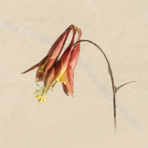 A Section Colour Print 3rd Aquiligia Firecracker by Joan Clarke