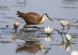 A Section Colour Print 1st African Jacana by David Jones
