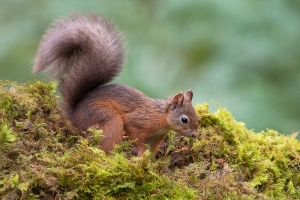 """""""A"""" Projected Digital Image 2nd= Red Squirrel by David Jones"""