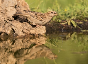 """""""A"""" Projected Digital Image 1st House Sparrow Drinking by David Jones"""