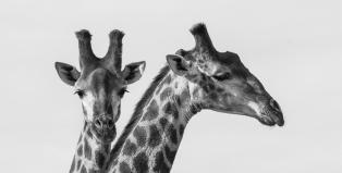 """A"" Mono Prints 1stGiraffes Portraitby David Jones"