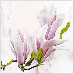 A Section Colour Print 2nd=Magnolia Blossom by Nancy MacArthur