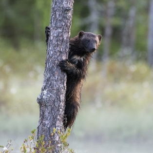 """A Colour 2nd""""Wolverine Climbing Tree"""" by Davy Jones"""