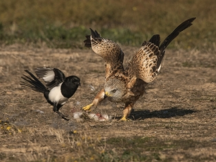 Highly CommendedRed Kite Attacking Magpie by David Jones