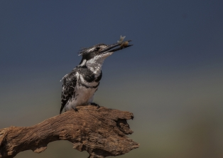 A Section PDI 3rd Pied Kingfisher with Fish by David Jones