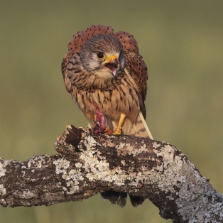 A Section PDI 2nd Kestral Male With Food byDavid Jones