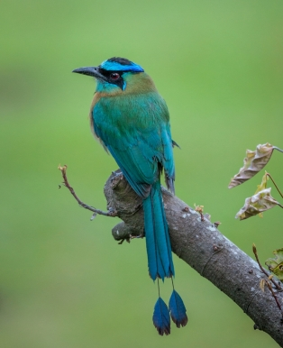Commended, Motmot by Michael Cox