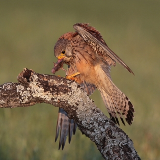 2 Highly Commended, Kestrel Eating Mouse by David Jones