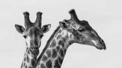 02 - 90 - Giraffes Portrait-1