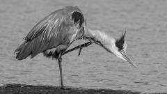 02 - 90 - Grey Heron Scratching 1
