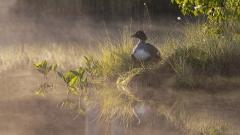 06 - 100 - Goldeneye in Morning Mist 1
