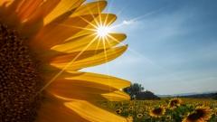 06 - 81 - 04 - Sunflower Peakaboo