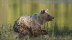 06 - 83 - 18 - Brown Bear Running