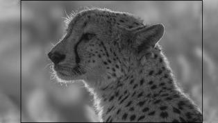 A-Section-Mono-Print-Cheetah-Backlit-Portrait-by-David-Jones-1