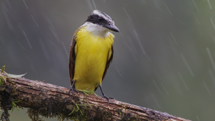 A-Section-PDI-Great-Kiskadee-in-Rain-by-David-Jones-1