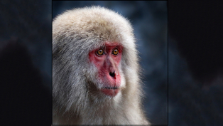 B-Section-Colour-Print-Snow-Monkey-by-Elaine-Woodford-1