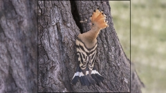 Hoopoe at Nest Hole