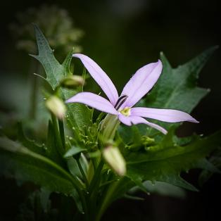 Joan-Small-lilac-flower