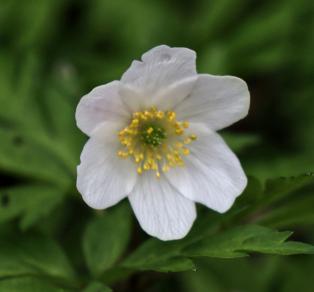Arlehne-Stewart-Wood-Anemone