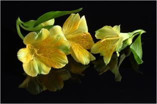 Charles-Woodford-Alstroemeria-Study