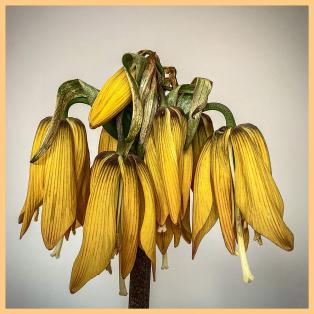 Davy-Miller-Fritillaria-Lutea-Max