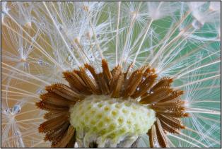 Charles-Woodford-Dandelion-Seeds