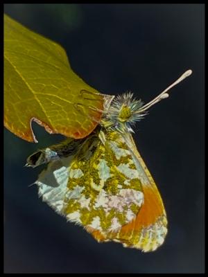 Davy-Miller-orange-tip-butterfly-5F46A44A-CFC5-4BB2-AA63-62A4C09213A8
